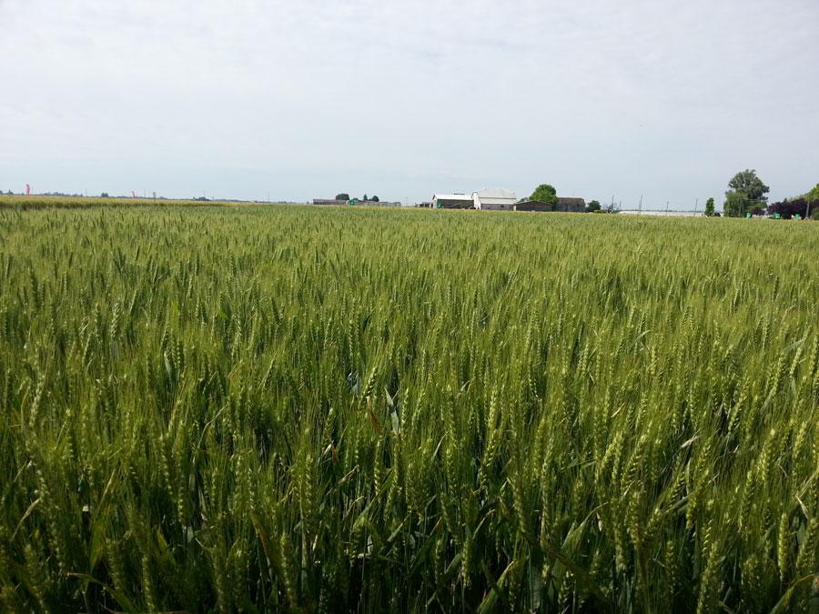Petra la farina di grano tenero 100% italiano macinata a pietra nel Molino Quaglia
